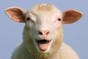 sheep-redorbit
